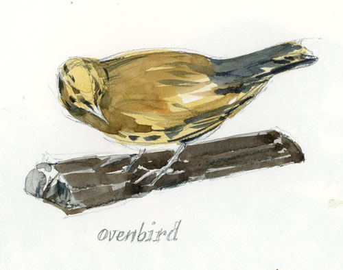 OvenBird.jpg